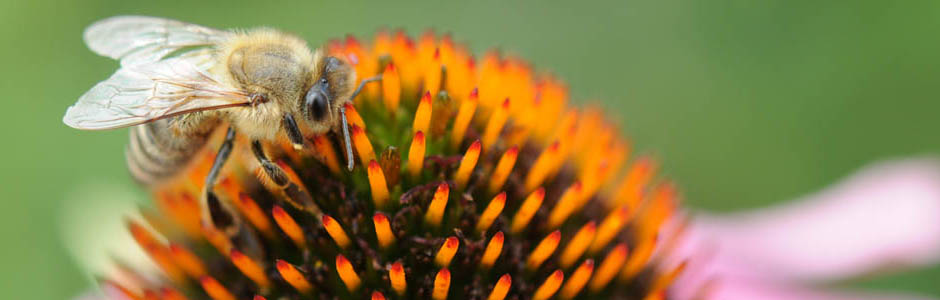 main_logo_macro_bee_on_flower.jpg